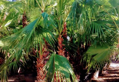 WASHINGTONIA ROBUSTA GROUP